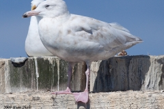 Back in port, the Summering Glaucous Gull