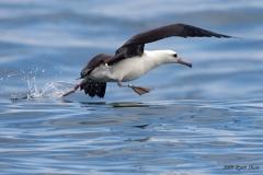 Laysan Albatross1