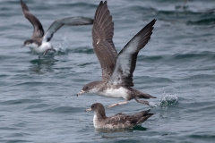 Pink-footed Shearwaters (With a blurry Buller's Shearwater, top left).