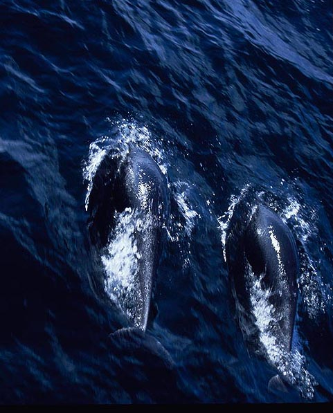 Northern Right-Whale Dolphin