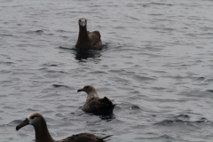 South Polar Skua and Black-footed Albatross